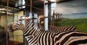 Zebra, Naturhistorisches Museum Wein, Vienna, Austria 2008